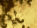 Trichoderma viride conidiophores