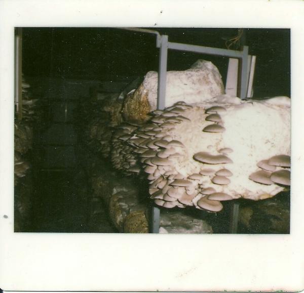 1a-volata-di-pleurotus1