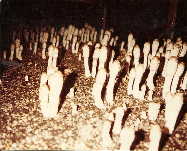 Coprinus-Comatus-coltivati-per-la-prima-volta-a-Parigi-nel-1981